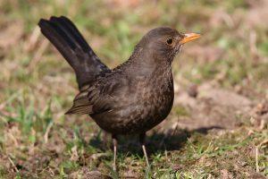 blackbird-biodiversity-week
